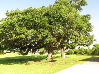 150 Years Old Oak Trees